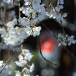 【桜の京都2020】数々の桜が楽しめる「平野神社 桜のライトアップ」は会期短縮に