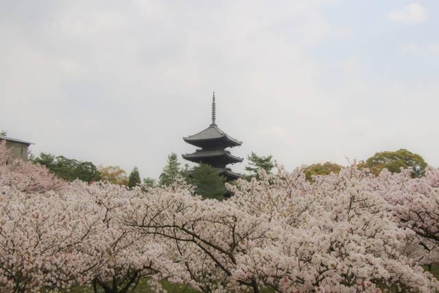 【桜の京都2020】古来より愛される遅咲き桜の名所「仁和寺」【京都花めぐり】