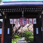 【桜の京都】遅咲き桜の楽園「雨宝院」【京都花めぐり】