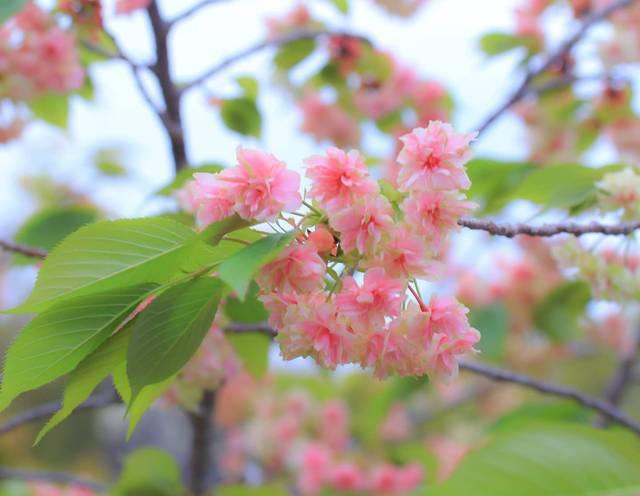 【京都花めぐり】希少種御衣黄桜と五智如来に癒される「五智山蓮華寺」