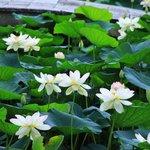 【京都花めぐり】神秘的な花、蓮が可憐に咲いていました「東福寺三門」