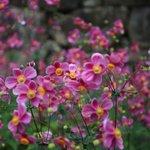 【京都花めぐり】多種の秋明菊が楽しめる名所「善峯寺」【大原野エリア】