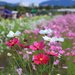 【コスモス】関西最大級!800万本のコスモスが咲き誇る『亀岡夢コスモス園』【京都花めぐり】