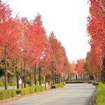 【京都紅葉2020】じわじわと人気♪秋の絶景「桂坂のモミジバフウ」