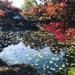 【2020京都紅葉最新】洛西の穴場スポット見頃!睡蓮池に浮かぶ赤もみじ「大原野神社」