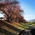 【2020京都紅葉最新】春だけじゃない絶景!京都屈指の桜並木トンネル「背割堤」