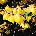 【京都の花】春を告げる黄色い『蝋梅(ろうばい)』が咲きほころぶ「大蓮寺」