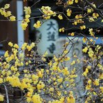 【京都花めぐり】思わず振り返る甘い香りに癒される 蝋梅(ろうばい)が楽しめる寺院二選