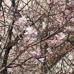 【京都ぶらり】早咲き『御池桜』彩る浄土真宗開祖親鸞の涅槃の地「見真大師遷化旧跡」