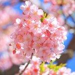 【京都 桜】春はすぐそこに…一条戻橋の桜