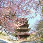 【京都桜2021】美しき東寺五重塔と河津桜のコラボ【京都花めぐり】
