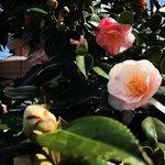 【京都花】天然記念物『五色八重散椿』が見頃☆椿寺の異名をもつ「地蔵院」