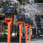 【京都桜2021】早咲きの桜が咲き誇る 平野神社・京都御苑・上品蓮台寺【京都花めぐり】