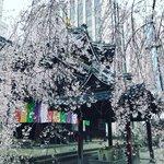 【2021京都桜】枝垂桜散り始め☆オフィス街のいけばな発祥地「頂法寺(六角堂)」