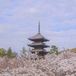 【京都桜2021】桜の季節終盤に楽しめる御室桜が魅力「御室仁和寺」【京の花めぐり】