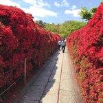 【京都花】まさに絶景!境内を真っ赤に染め上げるキリシマツツジ見頃「長岡天満宮」