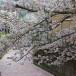 【京都 桜回顧2021】銀閣寺エリアの「哲学の道」~桜と花筏(はないかだ)~