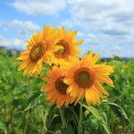 【京都】夏らしいひまわりで元気に♪人気のひまわり摘み取りを体験してきました♪ 八幡市「おさぜん農園」【参加費無料】