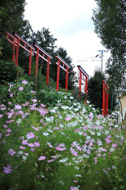【京都花めぐり】SNSでよく見かけるコスモスと鳥居ってどこ?嵯峨広沢「遍照寺」