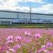 【京都花めぐり】可愛い風景、思わず笑顔に(^^) コスモス畑とハローキティはるか