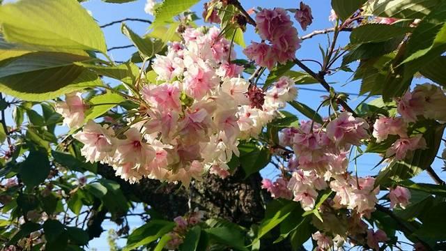 桜シーズンの最後を飾る遅咲き桜、御衣黄は。。。