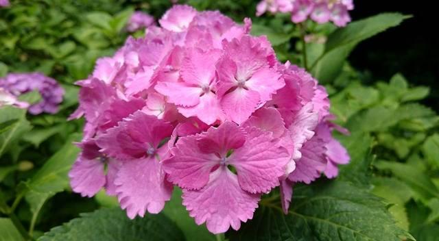 紫陽花 の薄紫も