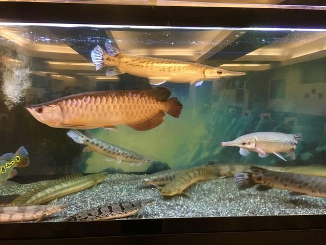 淡水魚の歓迎の舞