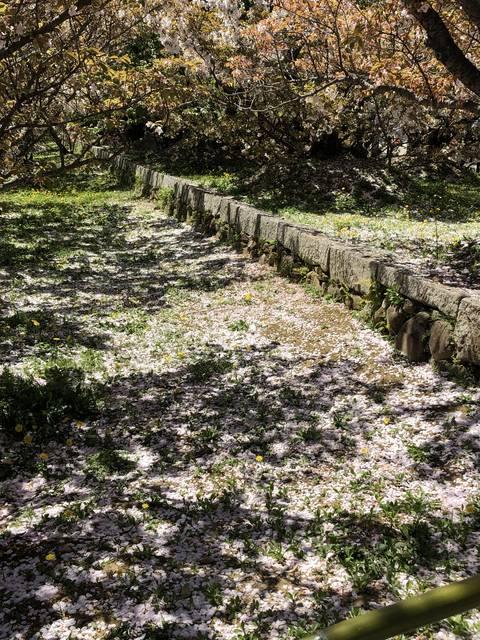 名勝 御室桜
