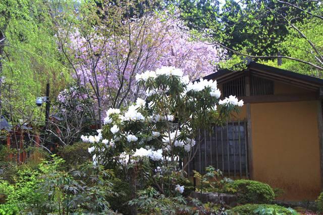 観音堂付近のシャクナゲと桜