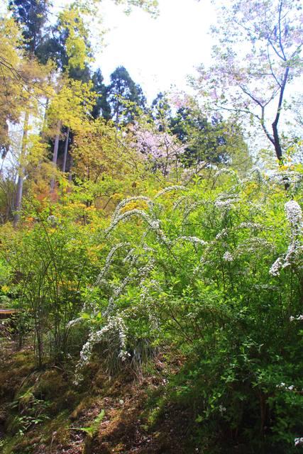 山吹やネコヤナギも咲いていました!