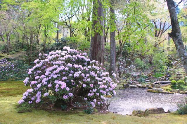 シャクナゲと池に浮かぶ桜の花びら