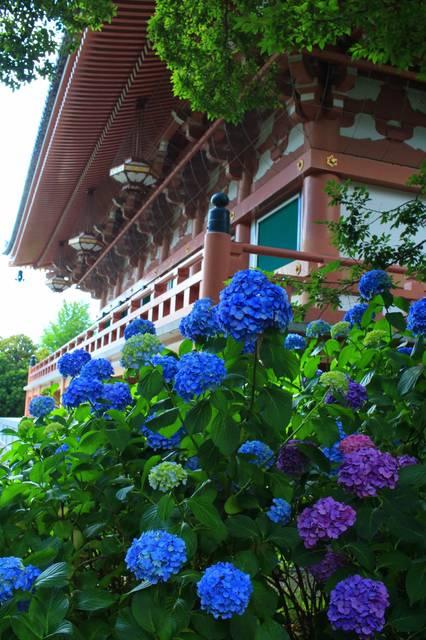 金堂と紫陽花