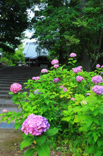 大師堂付近の紫陽花