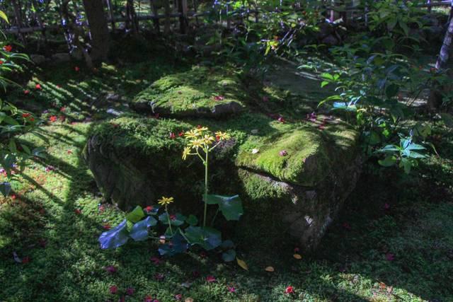 苔とツワブキの花