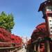 【風物詩】春薫る、真っ赤なキリシマツツジは今が見ごろ!「長岡天満宮」