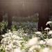 """*追記*見頃のシャガはこちらから→【リベンジ編】シャガの群生地は神秘の森だった☆【あやべ水源の里 老富】 - Kyotopi [キョウトピ] 京都がもっと""""好き""""になる。"""