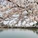 【聖地巡礼】文豪、谷崎潤一郎の「細雪」でマキオカ姉妹が愛した京都の桜スポットを行く《前編》