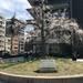 京都桜の代表格・円山公園の名木『祇園しだれ桜』の次代桜「JR二条駅東口」